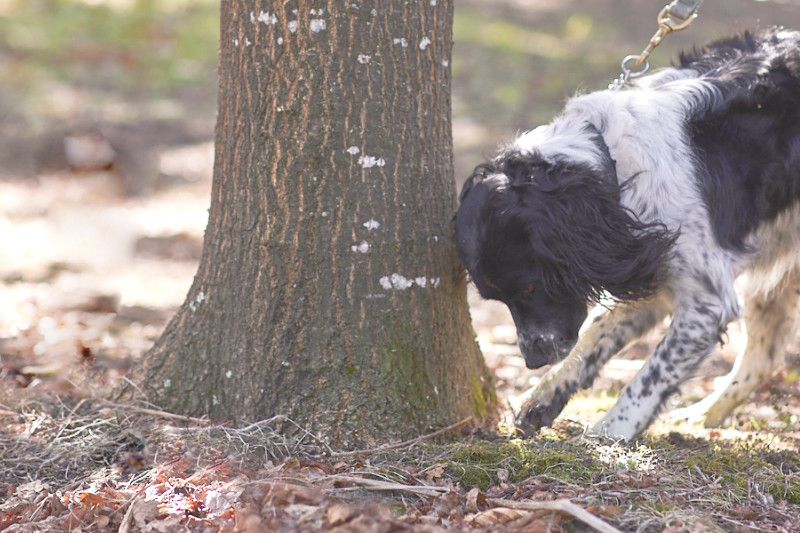 a dog digs for truffles at the base of a tree